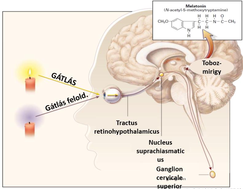 A cirkadián ritmus egyik fontos szabályozója: a melatonin