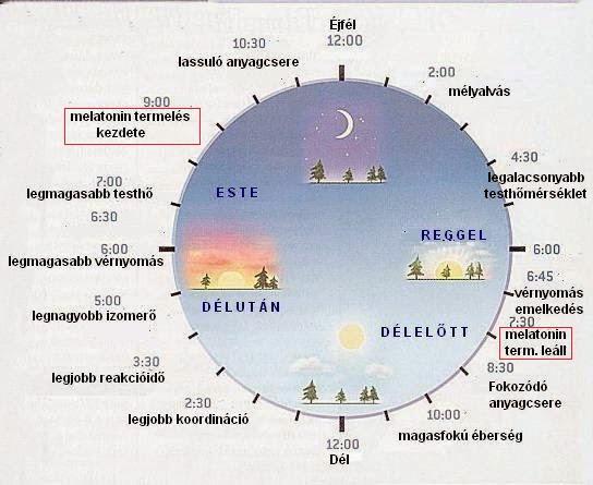 A melatonin-termelés ideje a cirkadián ritmusban